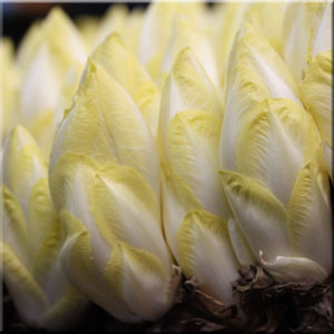 california-endive-farms-belgian-endive