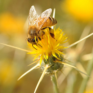 Yellow Star Thistle Honey