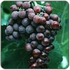 Grapes - Black Monukka