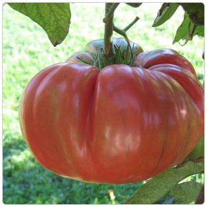 Tomato - Heirloom-Brandywine