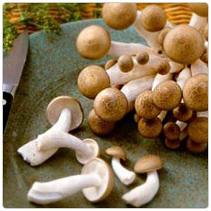 Brown Beech Clamshell Mushroom