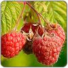 Juice - Apple Raspberry