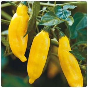 Pepper - Aji aka Peruvian Hot Pepper