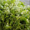 Flowering Wasabi Arugula - Produce Alive