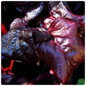 Beet Greens - Bulls Blood