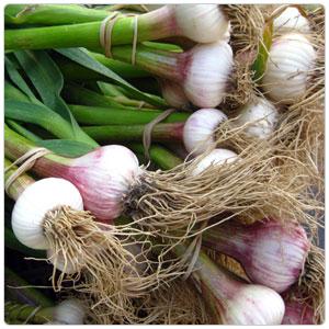 Garlic - Spring