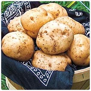 German Butterball Potato