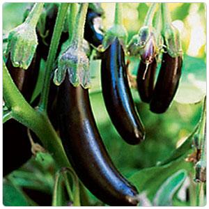 Eggplant - Japanese