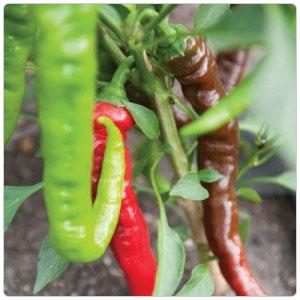 Pepper - Jimmy Nardello