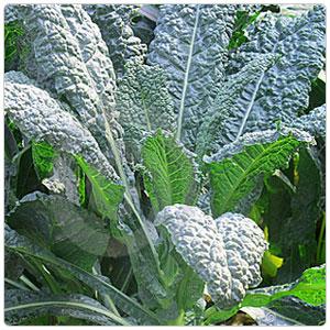 Kale - Lacinato