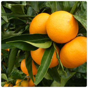 Mandarin - Satsuma