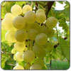 Grapes - Muscat
