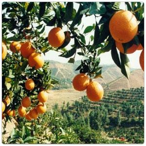 Orange, Navel
