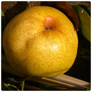 Pear - Asian Shinseiki