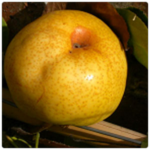 Pear - Asian Shinseiki