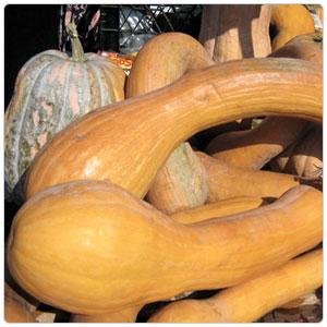 Squash - Tahitian Melon